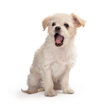 Cute mixed small breed white puppy dog sitting with mouth wide open to yawn Stock Photo