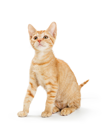 Cute young orange striped tabby kitten sitting on white looking up