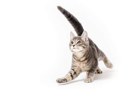 Cute young frisky grey striped tabby kitten running around and playing. Tail up, arm extended looking up
