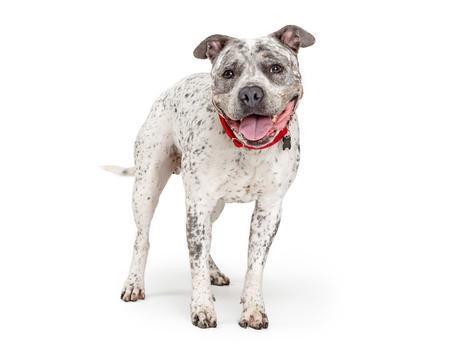 Cute happy smiling Pit Bull dog with white coat and black spots