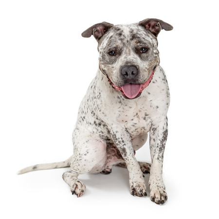 Happy smiling Pit Bull dog sitting on white background looking at camera