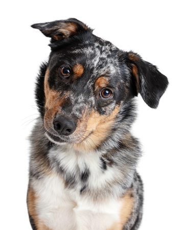 Closeup of beautiful attentive Australian Shepherd crossbreed dog looking at camera and tilting head Stock Photo - 122778498