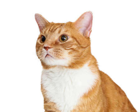 Closeup portrait of orange and white tabby cat facing side looking up