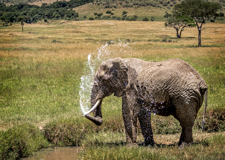 African elephant bathing and spraying water from pond in Amboseli, Kenya Africa