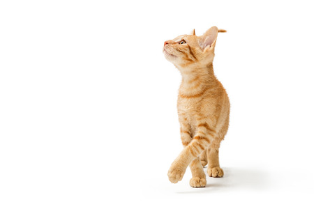 Cute young orange striped kitten walking forward lifting leg and raising head to look up and to side 版權商用圖片