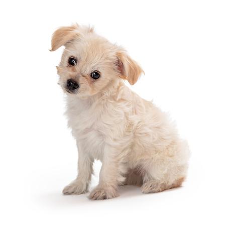 Lindo perrito blanco de raza pequeña mixta sentado al lado en blanco inclinando la cabeza y mirando a la cámara