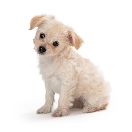 Schattig gemengd klein ras witte puppy hondje zittend aan de zijkant op witte kantelbare kop en kijkend naar de camera