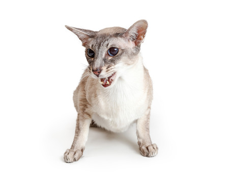 Oriental shorthair cat sitting on white with mouth open to meow or hiss