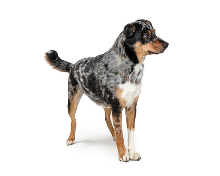 Australian Shepherd mixed breed dog standing on white facing and looking to side