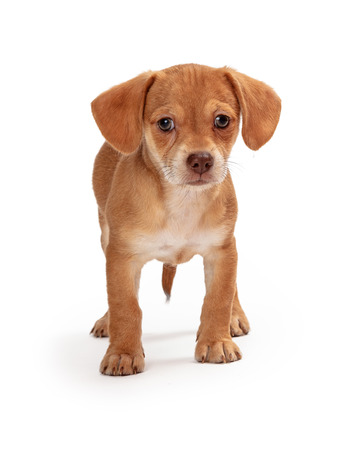 Cute young Chihuahua mixed breed puppy dog standing on white looking forward at camera