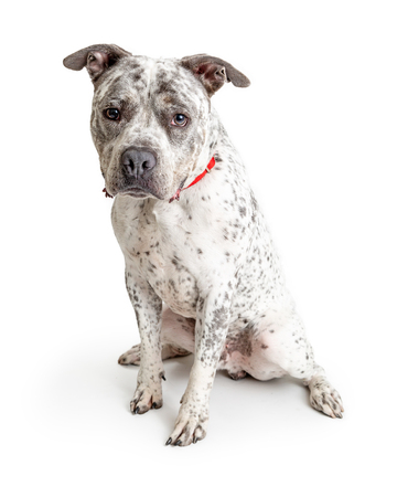Cute white Pit Bull dog with black spots sitting and looking forward at camera