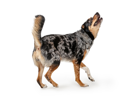 Excited young Australian Shepherd crossbreed dog facing side walking head up