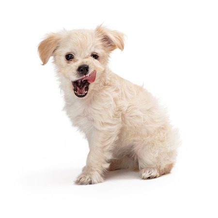 Funny cute mixed small breed white puppy dog with mouth open and tongue out licking lips