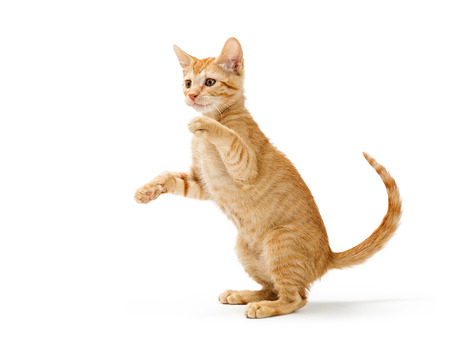 Leuk dartel oranje gestreept katje dat rechtop zit en armen opheft om poten te slaan en te spelen. Geïsoleerd op wit.