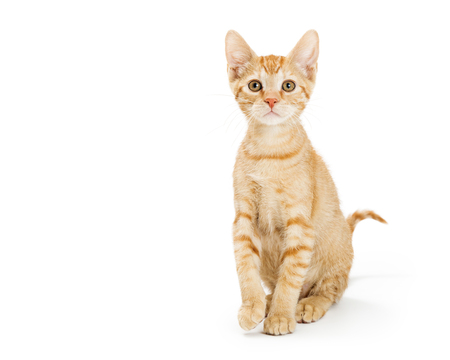 Cute young oranged striped tabby kitten sitting up tall looking forward. Isolated on white. Standard-Bild - 122778539