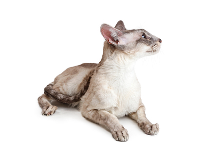 Oriental shorthair domestic cat lying down on white looking to side