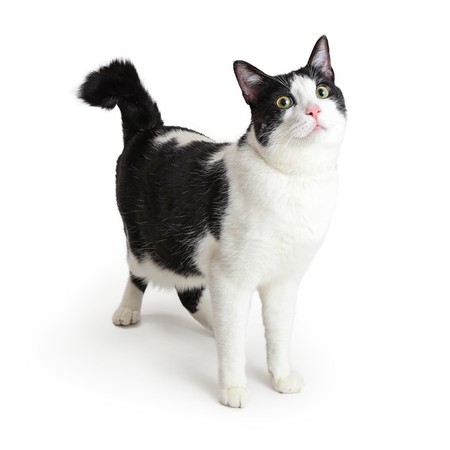 Cat with white fur and black markings standing and looking up with attention 版權商用圖片