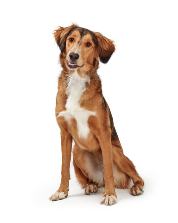 Friendly obedient Saluki and Golden Retriever dog sitting on white looking at camera