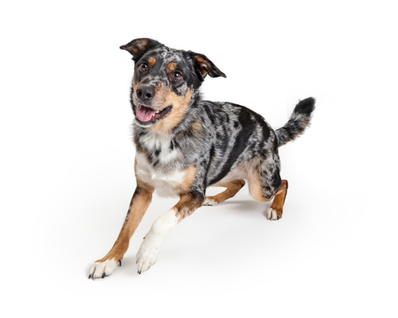 Active playful young Australian Shepherd crossbreed dog rising up to run forward with happy smiling expression