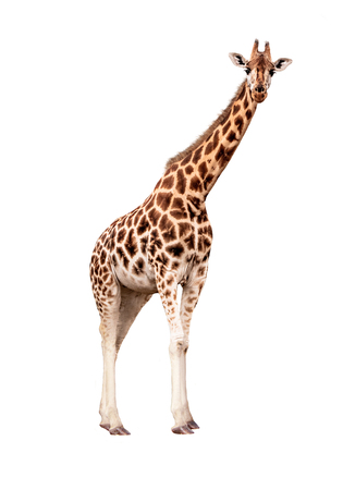Endangered Rothschild's giraffe standing side looking forward. Extracted from natural surroundings and isolated on white. Zdjęcie Seryjne