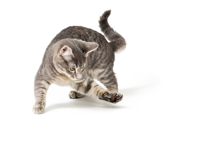 Cute funny kitten running around and raising paw to bat and play Foto de archivo