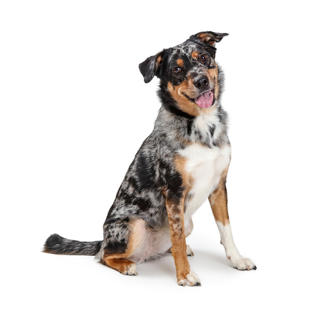 Cute happy friendly Australian Shepherd mixed breed dog sitting on white background looking forward into camera