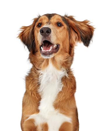 Close-up large mixed breed Saluki and Golden Retriever dog mouth open happy smiling expression 版權商用圖片