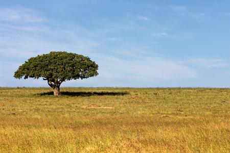 Einzelner Baum mit breitem Regenschirm und Schatten darunter im offenen Feld in Kenia, Afrika