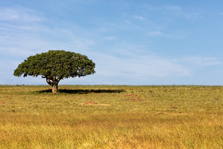 Single tree with wide umbrella and shade underneath in open field in Kenya, Africa