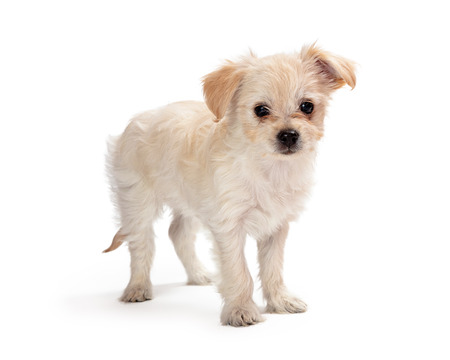 Cute mixed small breed white puppy dog standing to side and looking forward at cameera 版權商用圖片