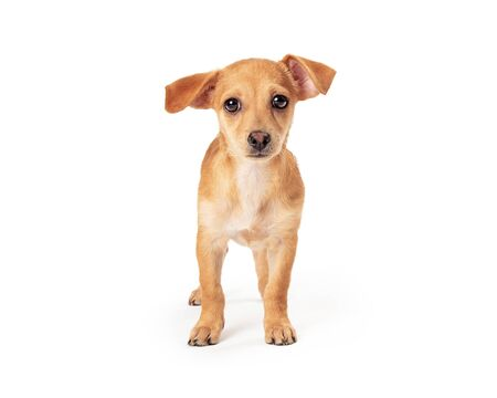 Cute young puppy dog standing on white facing center looking forward at camera