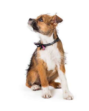 Cute young scruffy terrier puppy with tri-color coat sitting looking side. Isolated on white. Reklamní fotografie