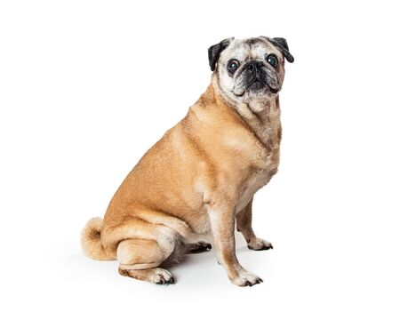 Fawn color pug sitting on white facing side looking at camera