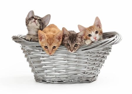 Litter of four cute young baby kittens together in a wicker basket over white background 版權商用圖片