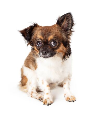 Cute funny small mixed breed dog with shy timid expression lifting eyes and one ear up