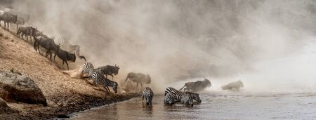 Dramatic scene of wildebeest and zebra crossing Mara River in Keenya, Africa during the great migration season.