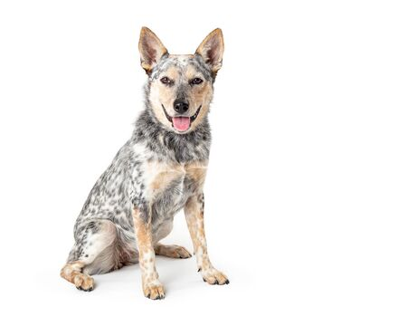 Large mixed Australian Cattle breed dog with cheerful friendly smiling expression sitting side head turned looking at camera