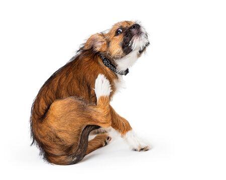 Cachorro de terrier peludo joven rascarse una picazón en la piel irritada