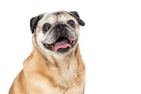 Cute pug dog with happy joyful smiling expression. Closeup portrait of face.