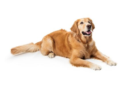 Beautiful obedient Golden Retriever purebred dog lying down on white