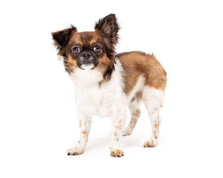Cute small Papillon mixed breed dog standing on white looking forward