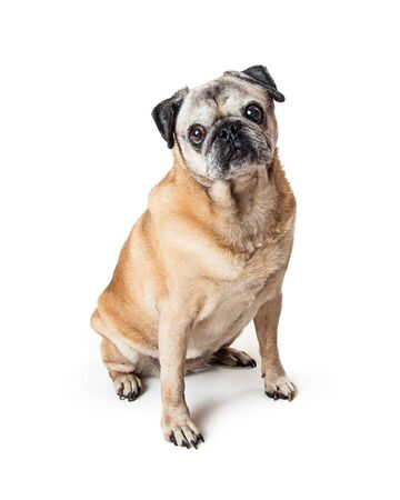 Attentive purebred fawn color pug dog sitting looking at camera