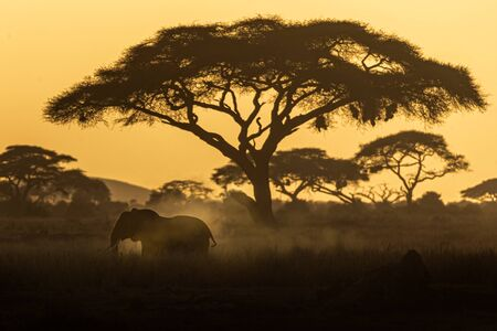Silhouette of an African elephant walking through a field in Amboseli, Kenya Africa at sunset
