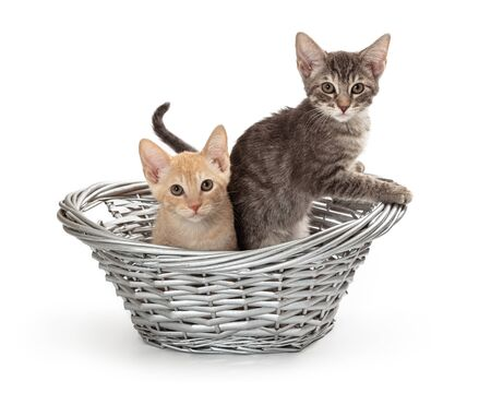 Two cute young baby kittens together in a wicker basket over white 版權商用圖片