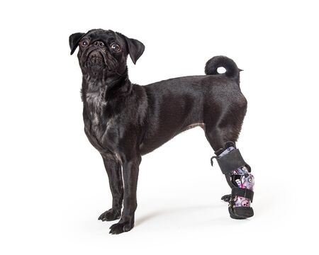 Young black purebred pug dog with prosthetic brace on back leg due to paw injury