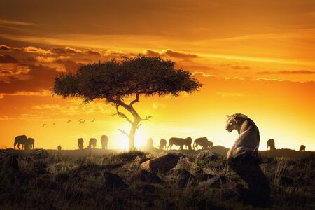Safari scene in Kenya Africa with lioness backlit by setting sun and silhouette of wildebeest in background