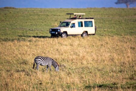 African plains zebra grazing in the grasslands of Kenya, Africa with safari game drive tourist vehicle in the background Stok Fotoğraf