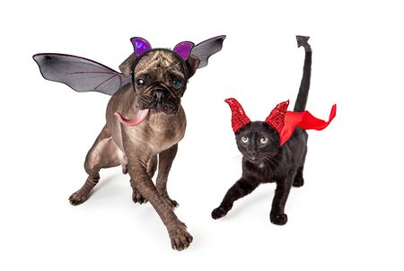 Funny bald Pug dog dressed as a bat and black cat dreessed as a devil for halloween.