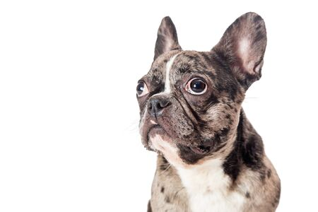 Close-up of beautiful brindle coated French Bulldog breed dog facing side and looking up 写真素材