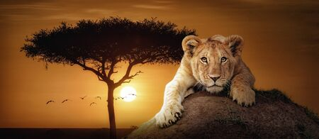 Web banner of African sunset scene with cute lion cub lying on mound and looking at camera 版權商用圖片